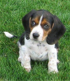 Front View A Drop Eared Tricolor Black And Tan With White