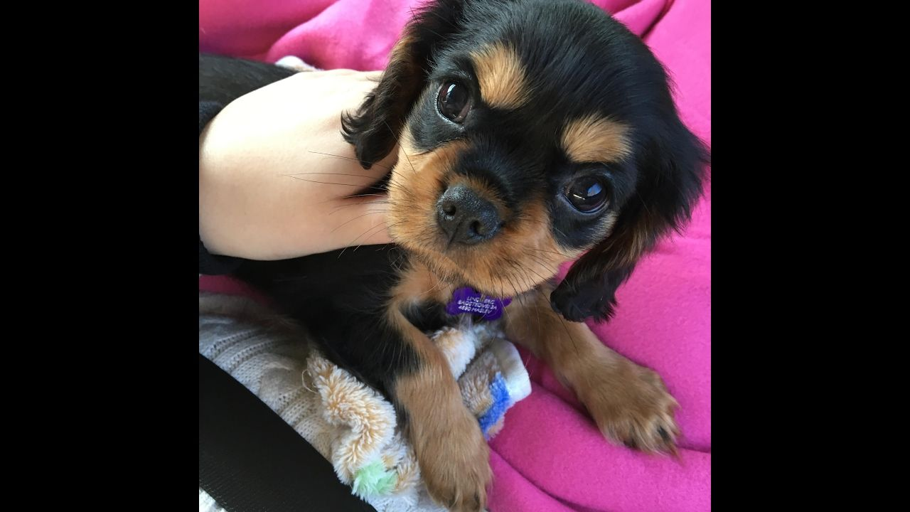 Picking Up My New Puppy Cavalier King Charles Spaniel Black And