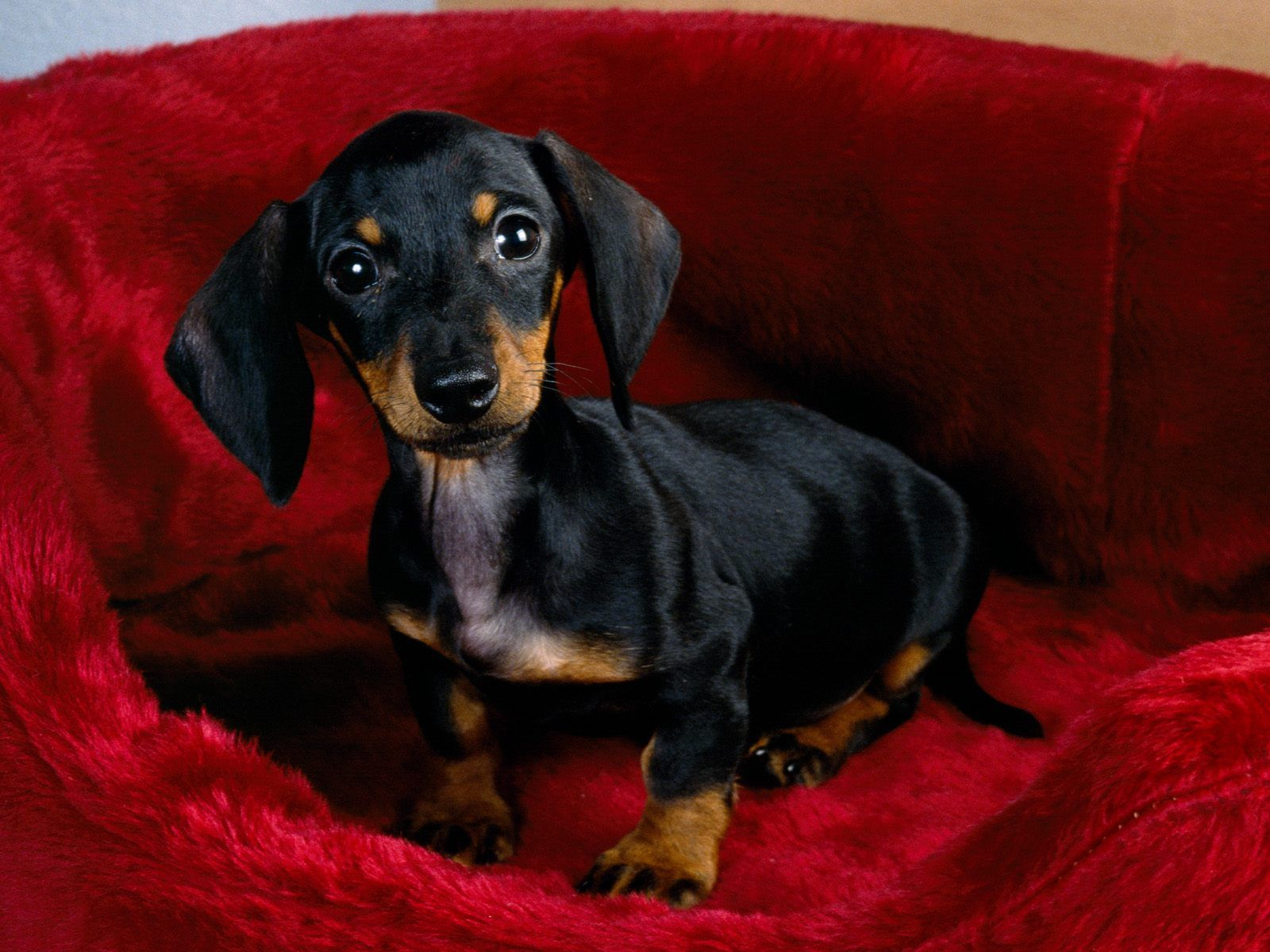 Black And Tan Dachshund Wallpaper Dachshund Dog Dachshund Puppy