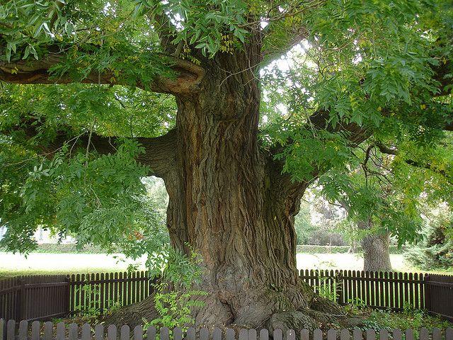 mature tree in the lednice garden area of lednice castle in the czech republic