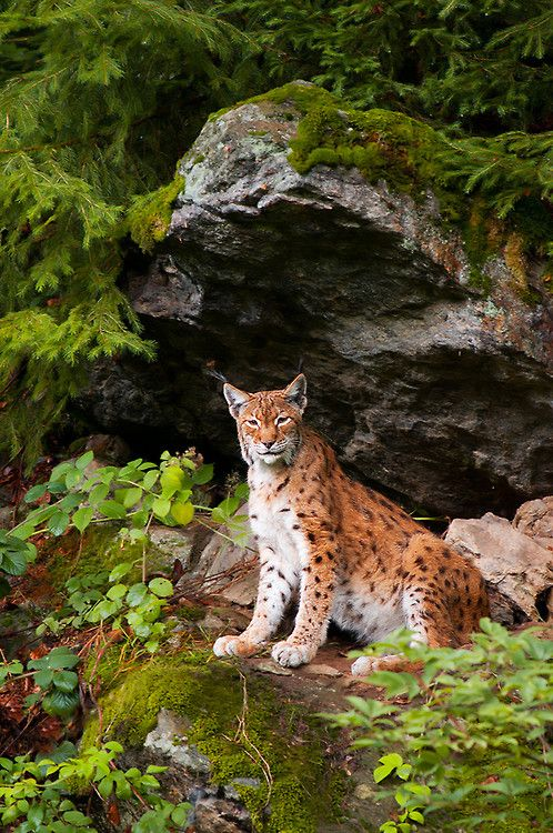 The Eurasian Lynx is the largest lynx species. It is