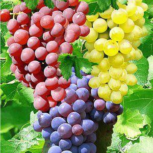 Weintrauben: 5 Tricks für große, süße Beeren