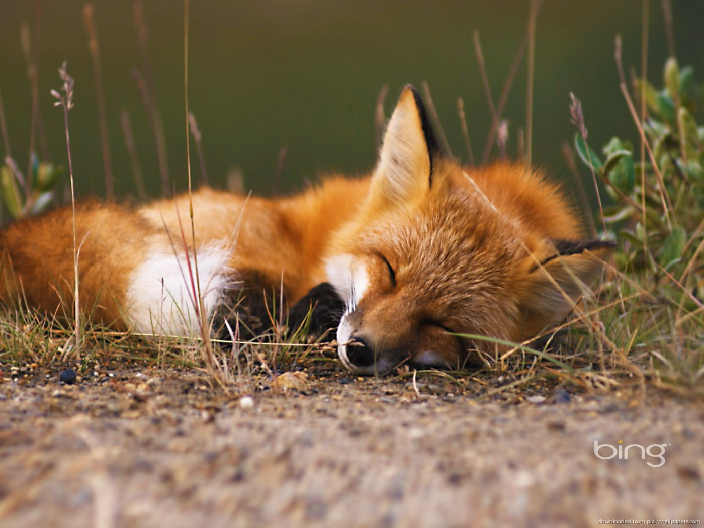 images Sleeping Fox Submit How to use Picky Wallpapers