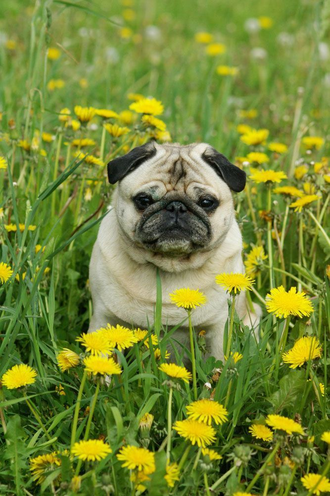 Pugs love nature and they love everybody!... Click on