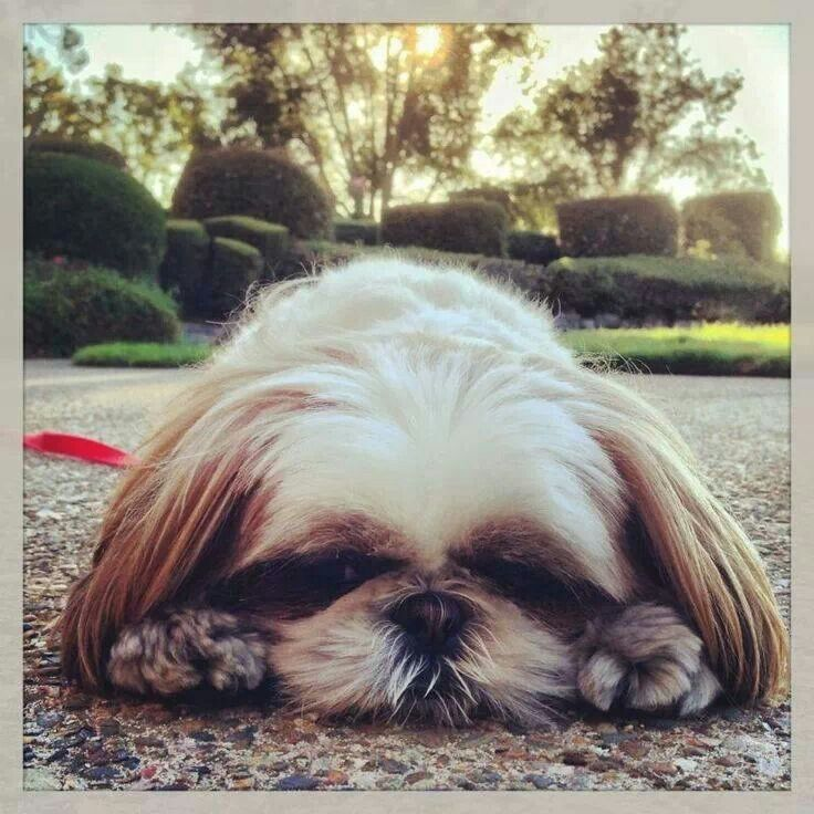 Typical Shih Tzu pouty face. But i love it.  Both of ours show their disappointment this way!!! A show of true personality...