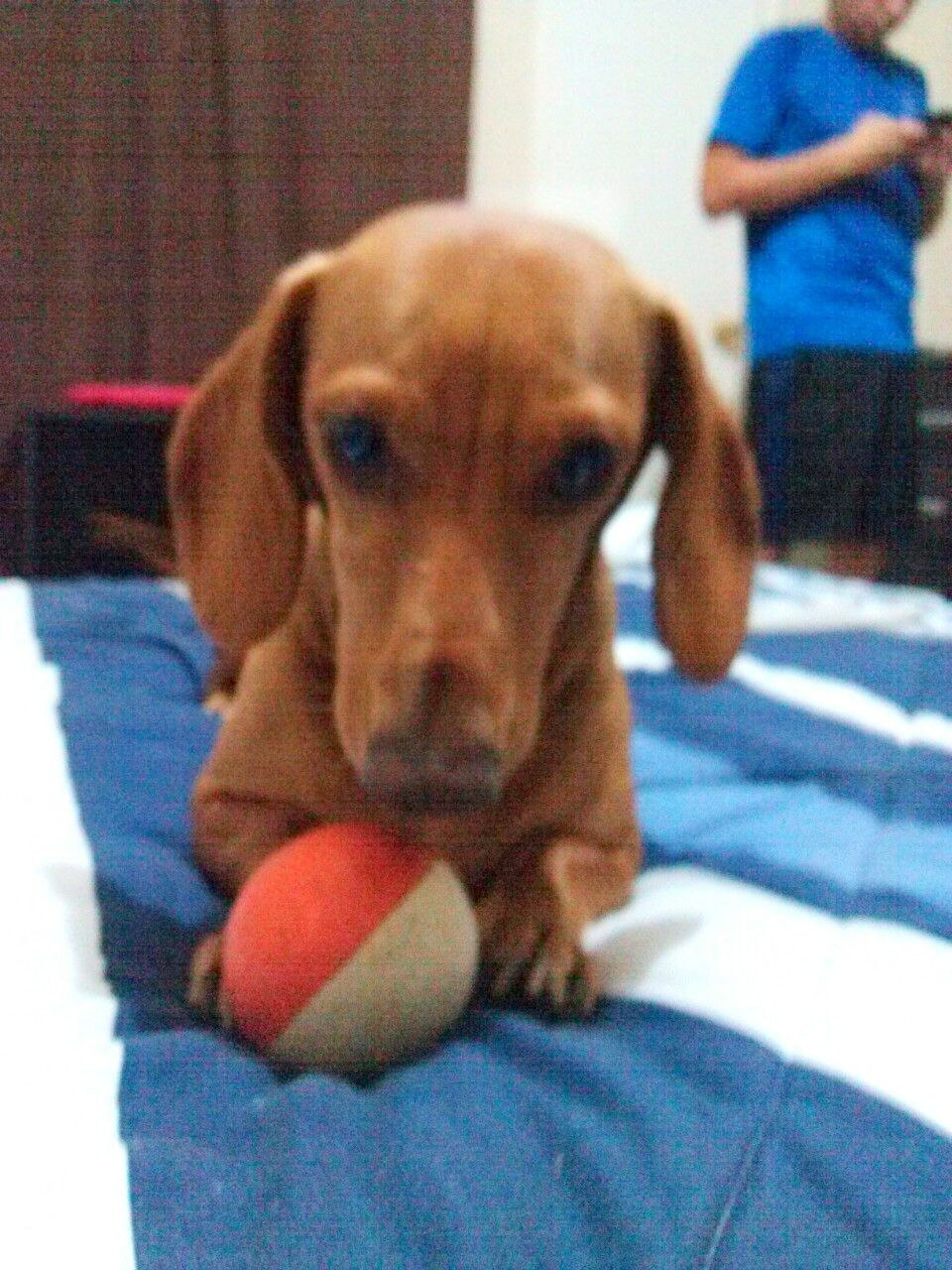 Donttouchmyballplease Playtime Dachshund Mia Doxie Puppies