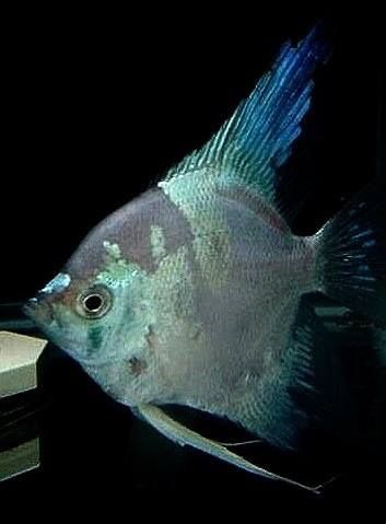 Giant Green Angelfish From Taiwan Available In Limited Numbers In North America Ciclidos Peceras America Del Sur