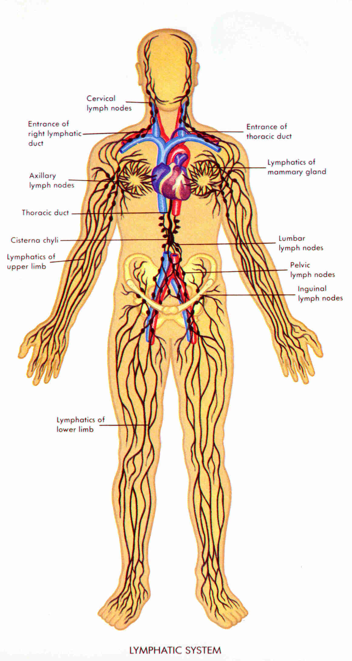 lymphatic system | cancer prevention | Pinterest | Lymphatic system ...