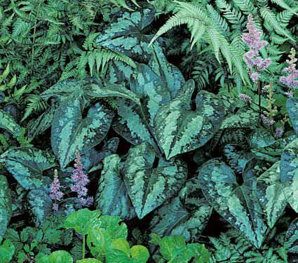 Shade-loving-plants-4.jpg 425×375 pikseliä