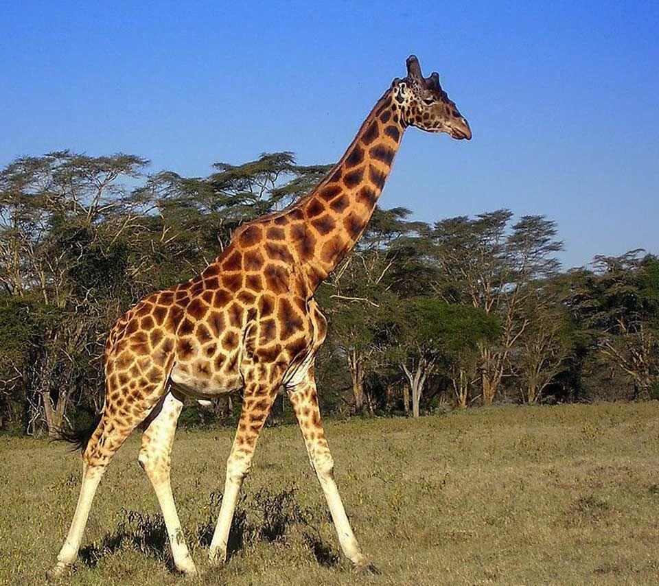 giraffe Giraffe, Animals wild, Animals