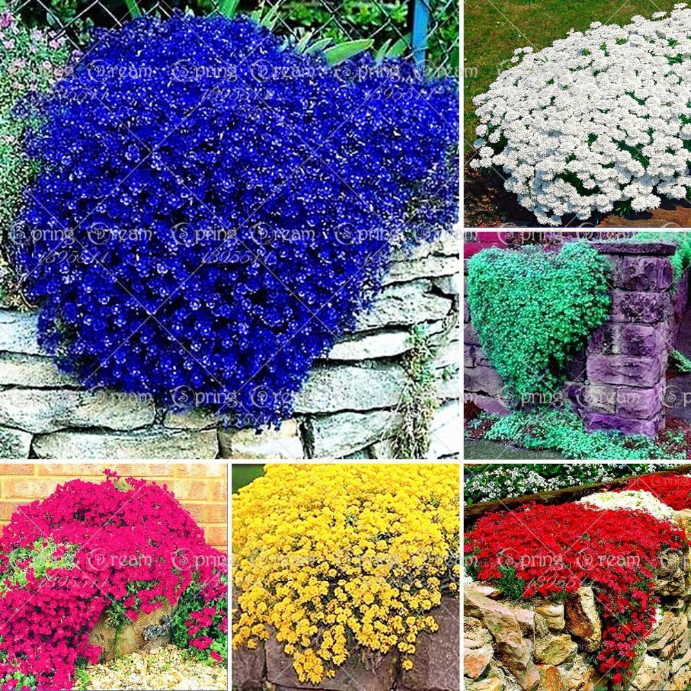 100pcsbag Creeping Thyme Seeds Or Blue Rock Cress Seeds Perennial