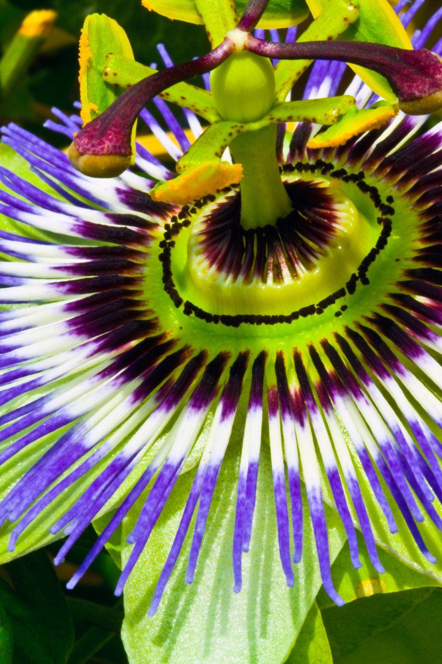 Passion flower 2 by haakenson-stock.deviantart.com on @deviantART