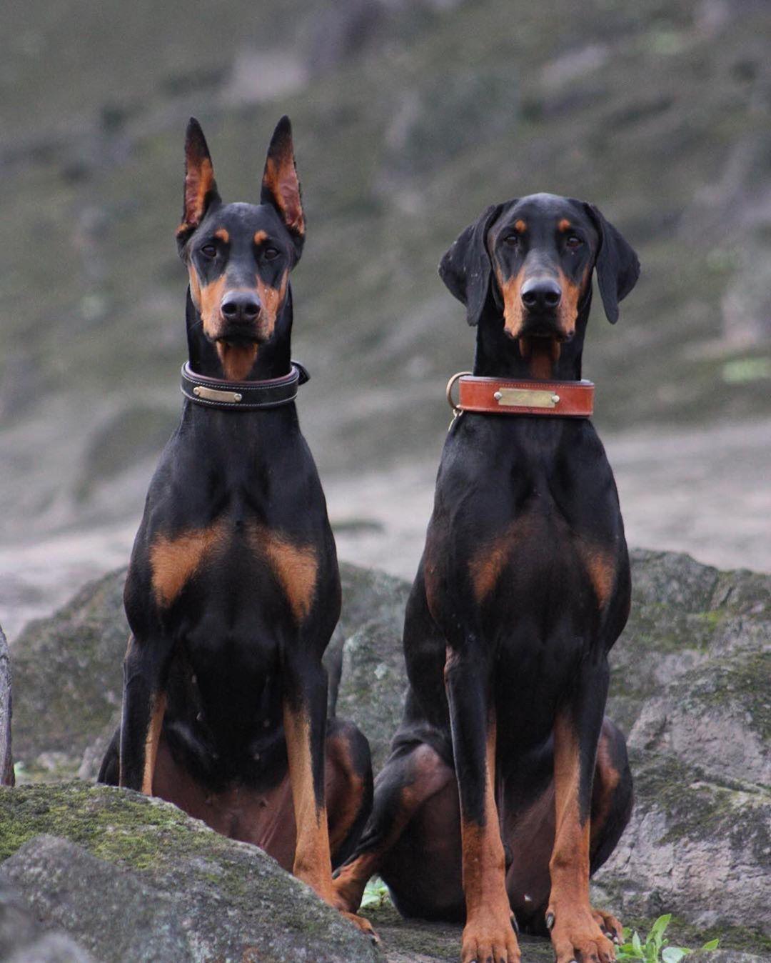 European Doberman Puppies For Sale In Europe 2021