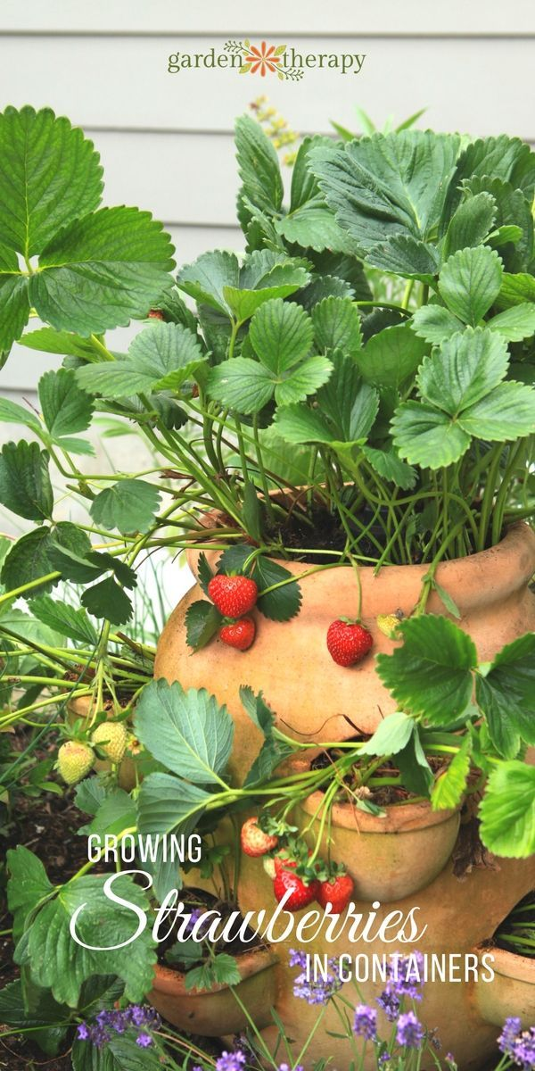 Strawberries In Containers Strawberries In Containers Growing Vegetables Growing Strawberries