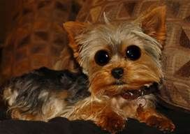 Funny Yorkie Pictures Funny yorkie by houstonryan