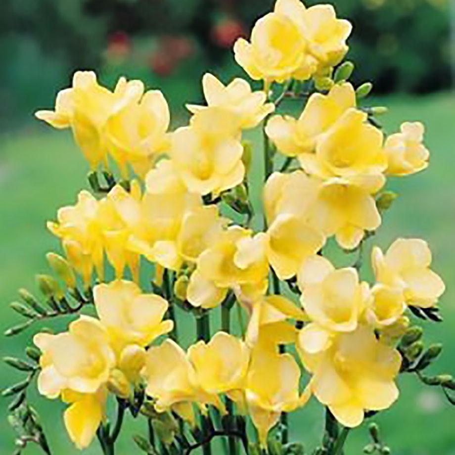 Allium Ampeloprasum Spanish Allium Flowers Pinterest Allium