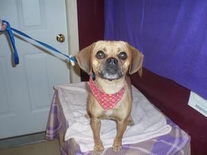 Adopt Wags On Dog Friends Adoption Pug Beagle Mix