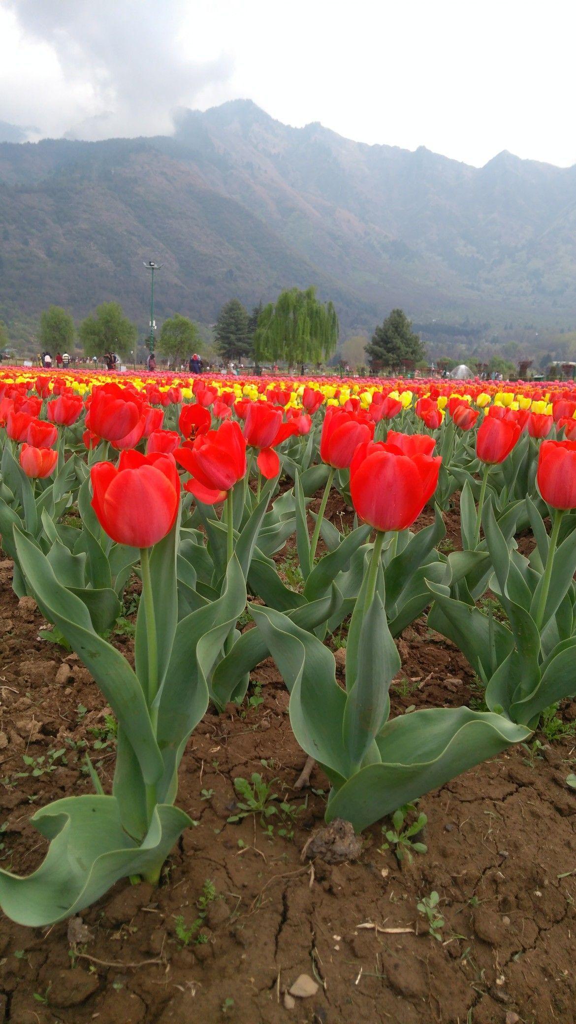 Tulip Garden Kashmir Tulips Garden Plants Tulips