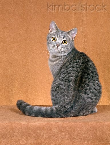 Cat 02 Ch0061 01 British Shorthair Blue Spotted Tabby Sitting In Rust Studio Looking Back Cat Photography Cat Art Cat Painting