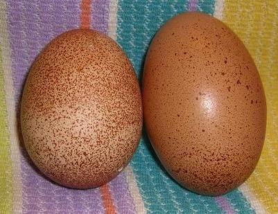 Ideal Hatchery Cuckoo Marans Egg Color Pics Chickens Pinterest