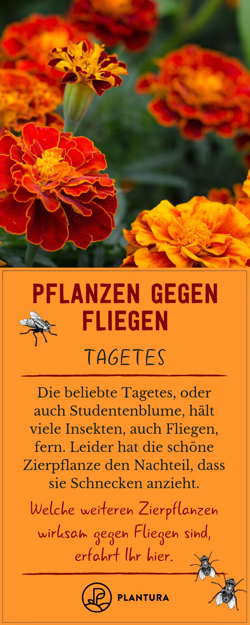 Pflanzen Gegen Fliegen Lavendel Tomaten Co Plantura Pflanzen Olivenbaum Uberwintern Studentenblume