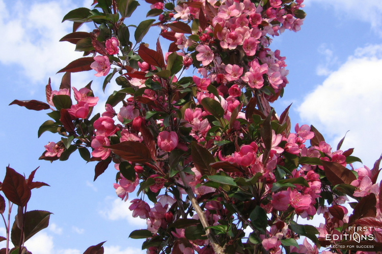 Gladiator Is An Excellent Ornamental Tree With A Profusion Of Bright Pink Flowers Followed By Small Reddish Purple Ornamental Trees Pink Flowers Fall Foliage