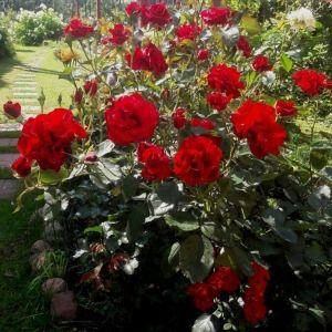 купить саженцы роз дешево