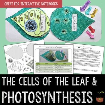Photosynthesis And Cells Of The Leaf With Images