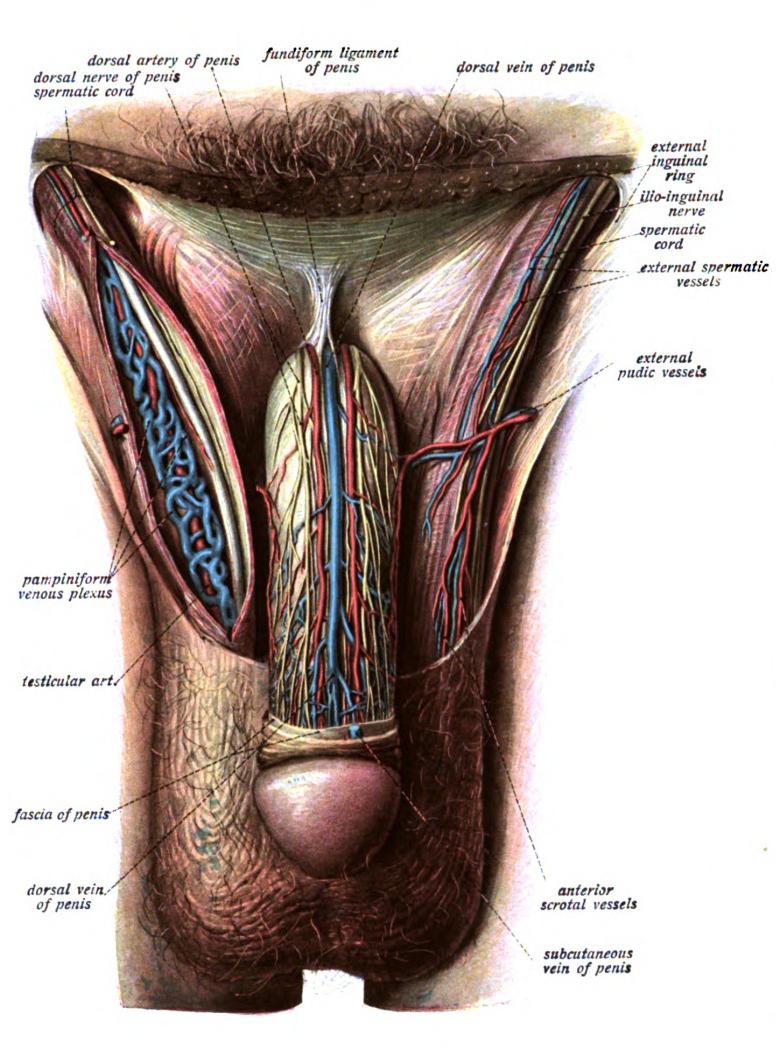 Pin de Jayke J en Urology-Male | Pinterest | Anatomía