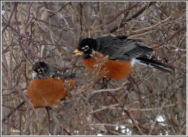 Seeing these 2 robins is a sure sign that Spring is almost here !!!!!!!