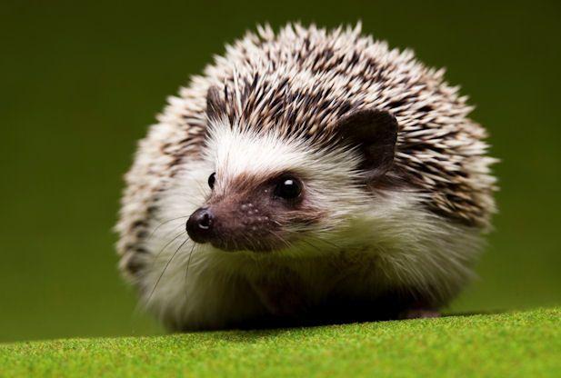 Hedgehogs Popular Pets Hedgehog Animal Cool Pets Cute Animals