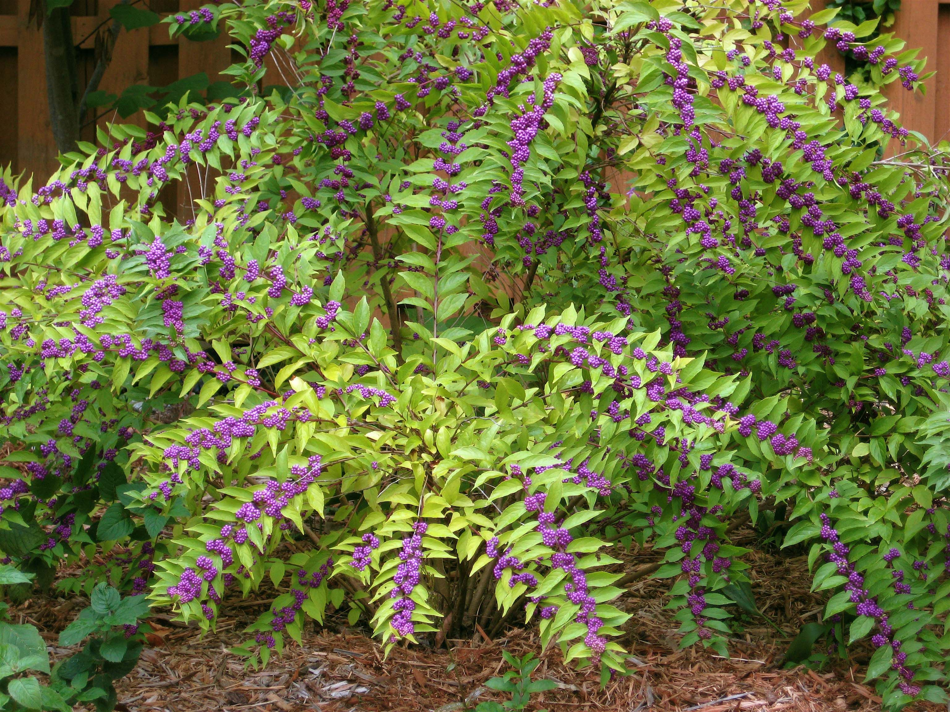 Beauty Berry Bush Shrubs Planting Flowers Growing