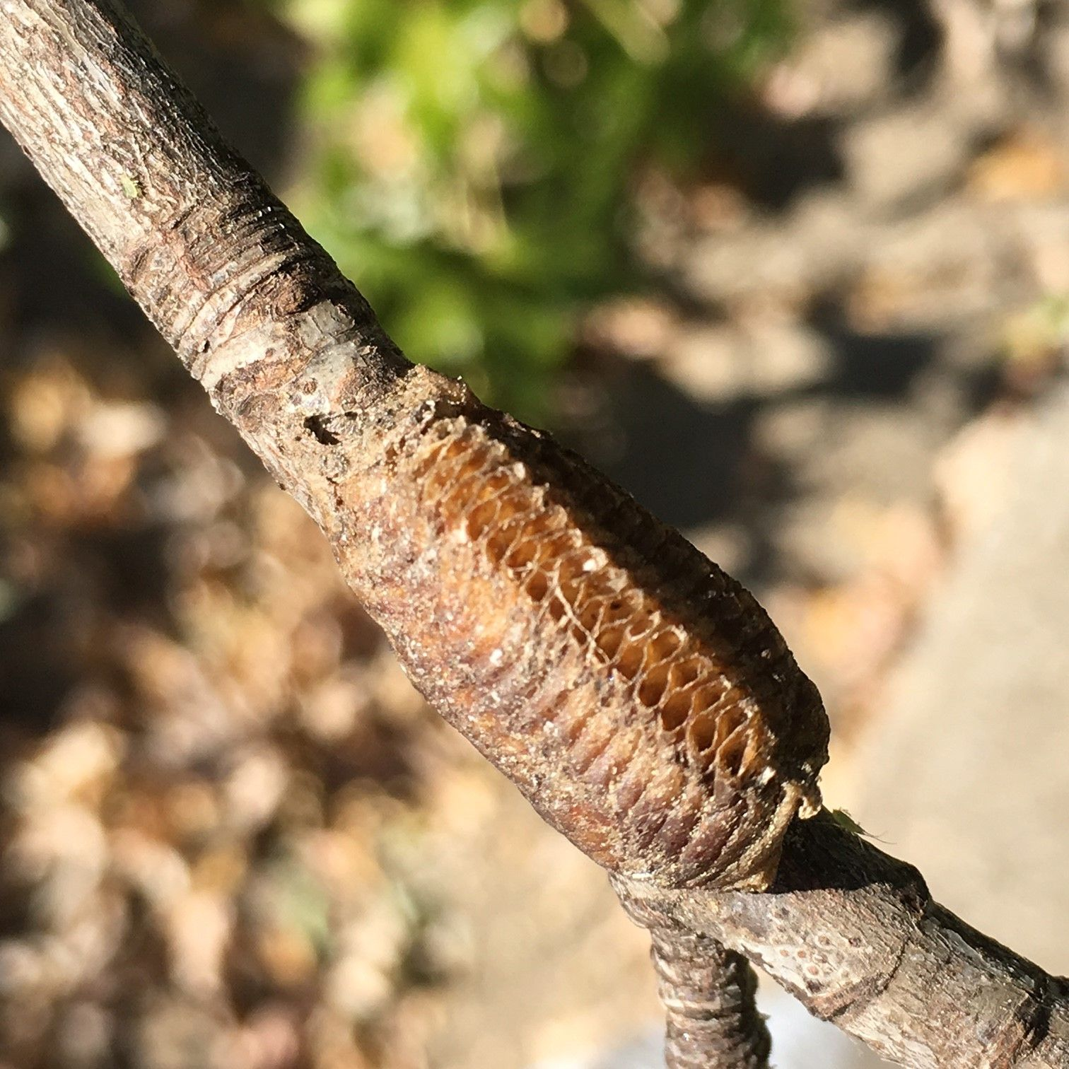 Insect Home Nature Study Praying Mantis Egg Case Nature Study