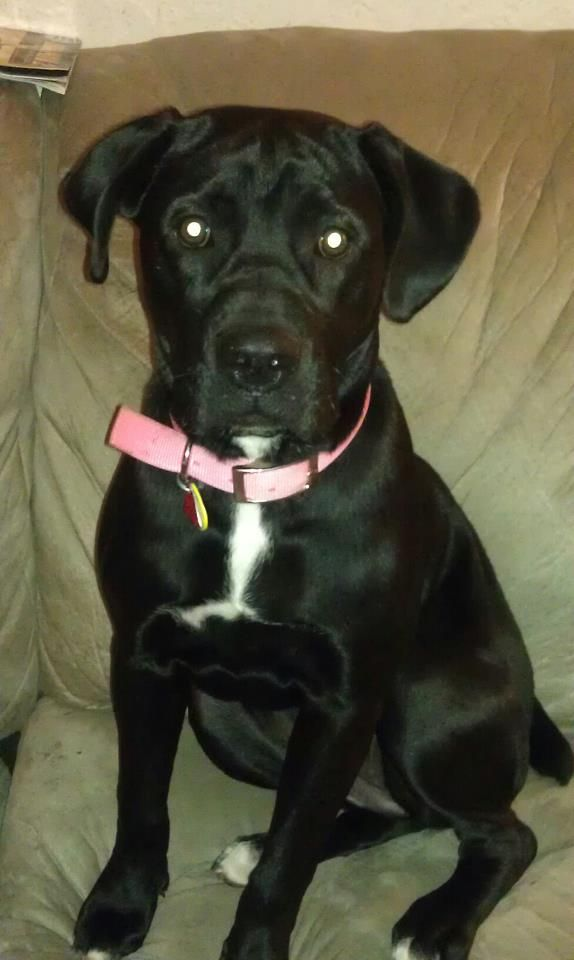 Georgia American Bulldog Black Lab Mix