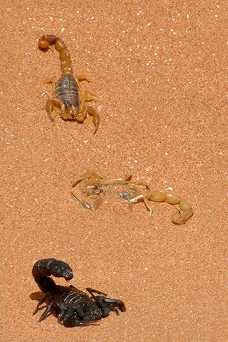 Scorpions - Skorpiók, Tunisia, Djerba_foto by Peter Farsang, 2005