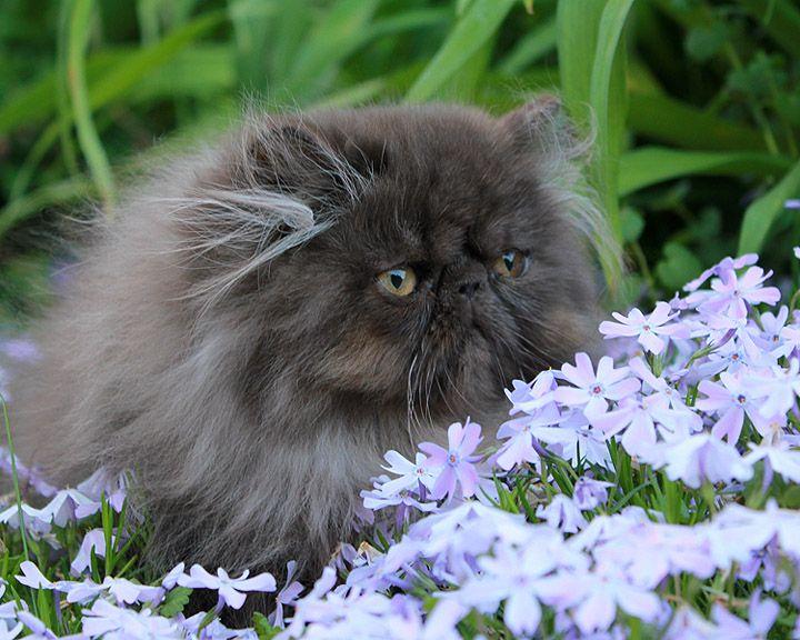 Alfenloch Himalayan And Persian Kittens Ontario Canada Persian