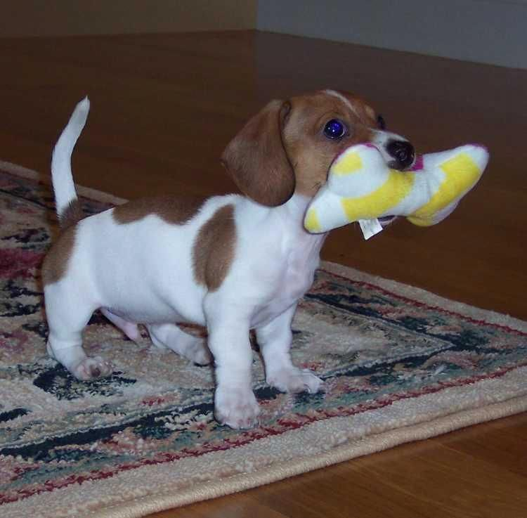 Things I Adore About The Vigilant Daschund Pups
