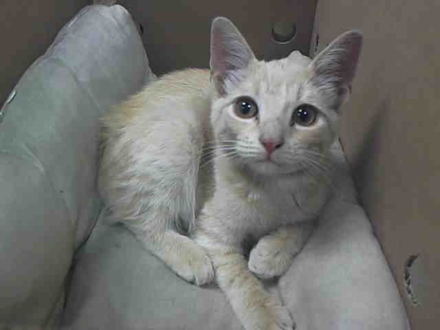 Super Urgent Needs Out Now Nyc Acc Oli Id A1014513 Baby Alert I Am An Unaltered Male Cream Tabby Dsh Mix I Pets Cat Adoption