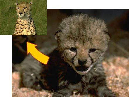 Cheetah Life Cycle Diagram The cub becomes a cheetah.   ARC ...