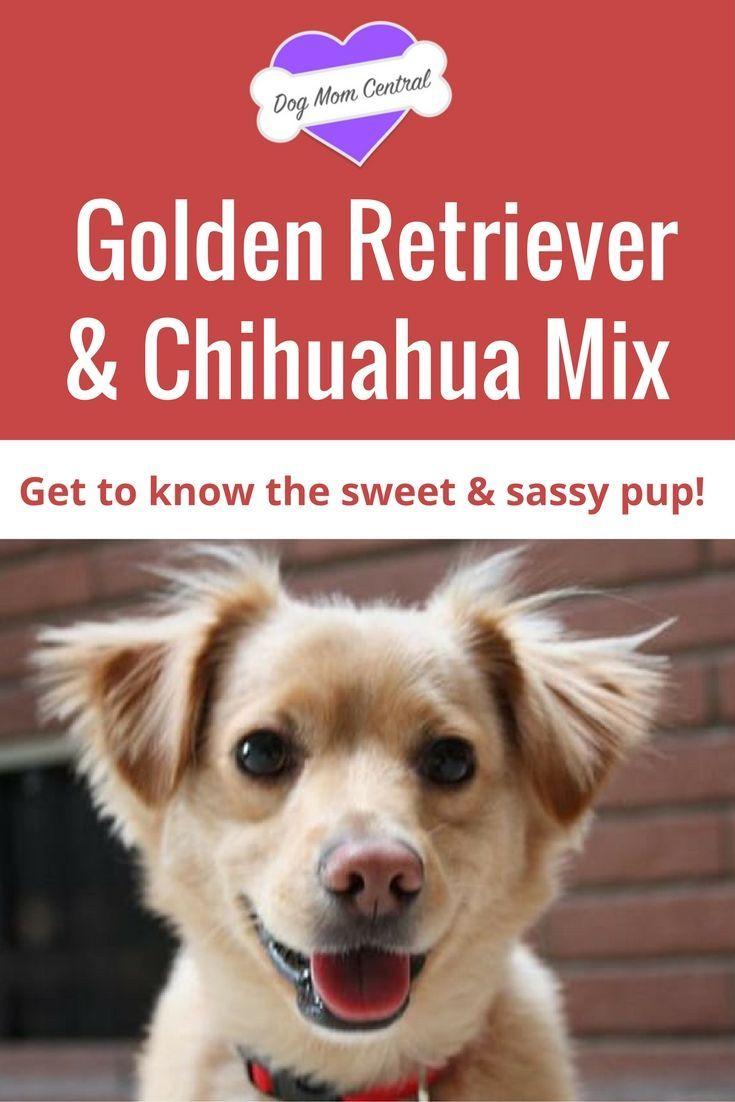 Golden Retriever Chihuahua Mix A Sweet Sassy Pup Chihuahua