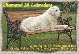 Labrador Retriever Dog Puppy Websites