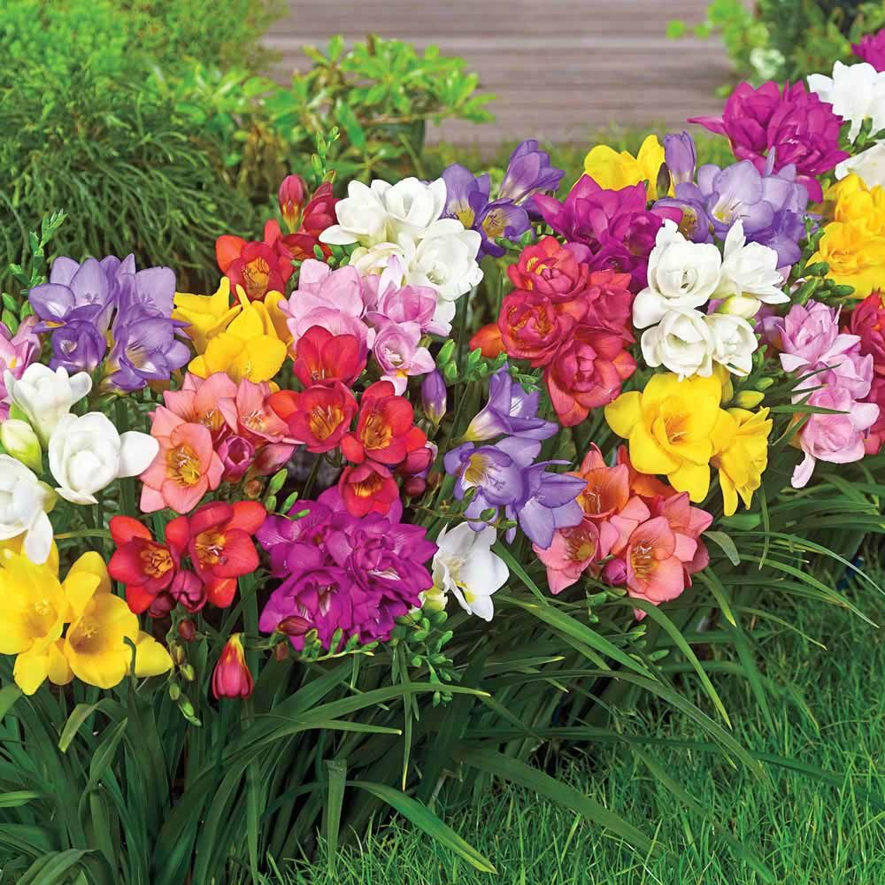 8821273231390 Jpg 1 000 1 000 Pixels Bulb Flowers Freesia Flowers Flower Garden Plants