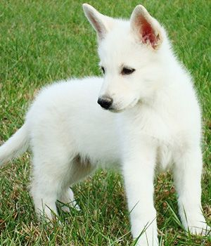 American White Shepherd Price Temperament Life Span Baby