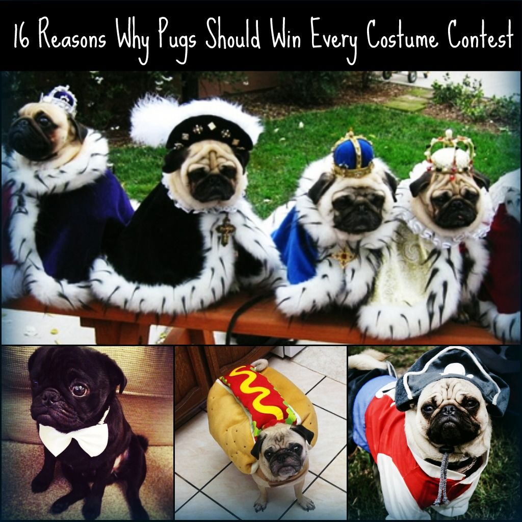 16 Reasons Why Pugs Should Win Every Costume Contest Ever Cute