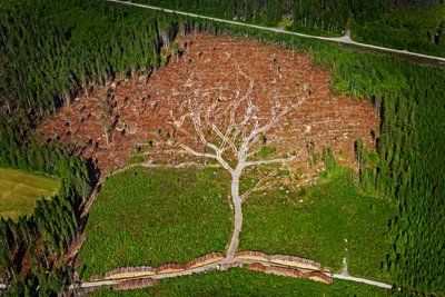In January 2005, a terrible hurricane-force storm swept through Sweden, felling 75,000,000 cubic meters of forest in its wake. It was called Gudrun. After officials cleared this particular patch of pine trees in southern Sweden, a magnificent pattern of a giant tree emerged. Photographer Joakim Berglund captured the moment in this awesome photograph, which went on to win Sweden's annual press photography awards in 2006.