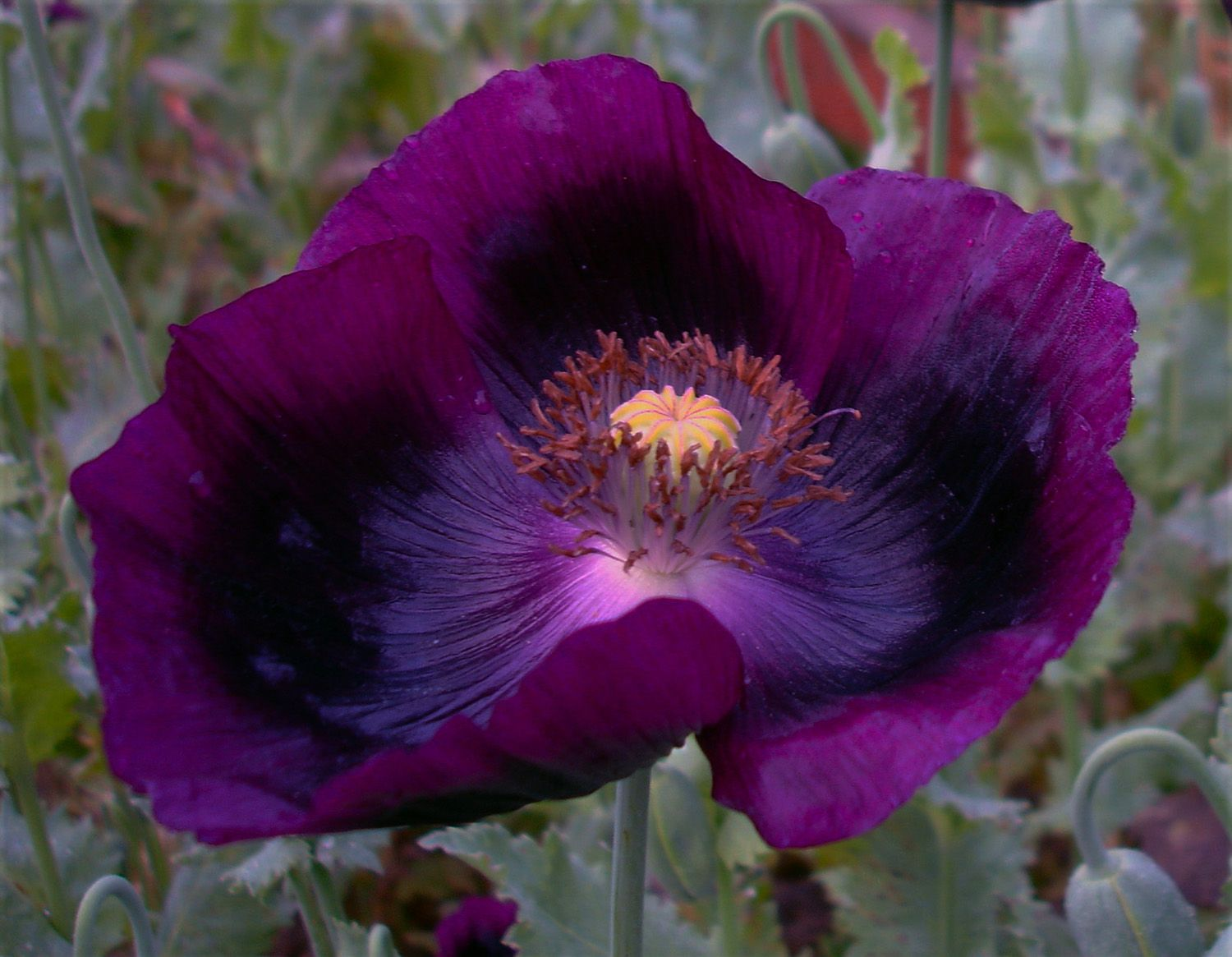 I Love This Plum Color Dianas Purple Poppies Holistic Well Being