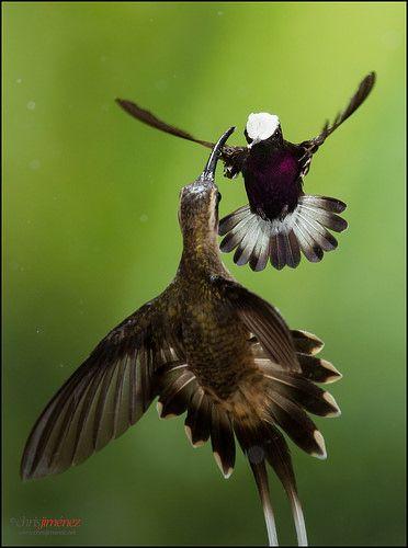 Male Snowcap (Microchera albocoronata) defending his territory