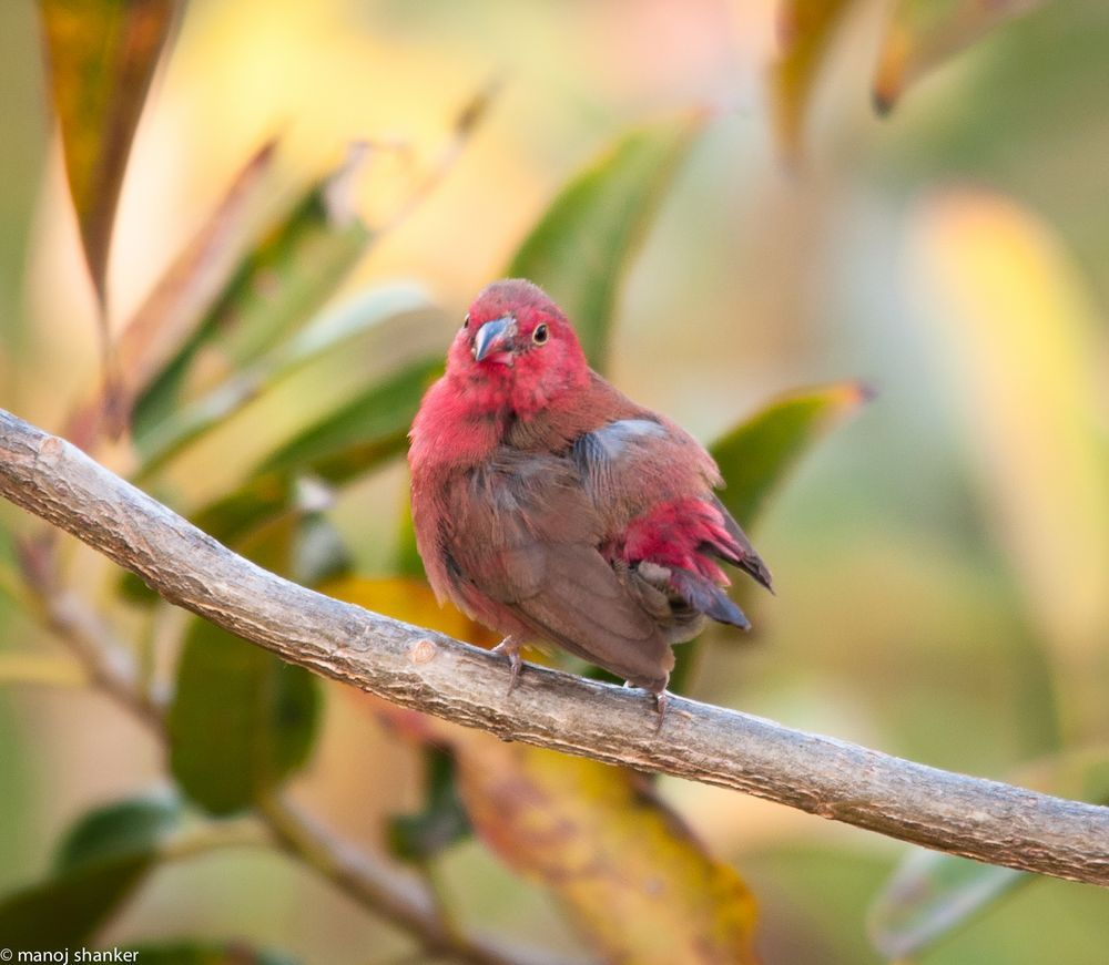 African Fire Finch Photo by manoj shanker -- National Geographic Your Shot