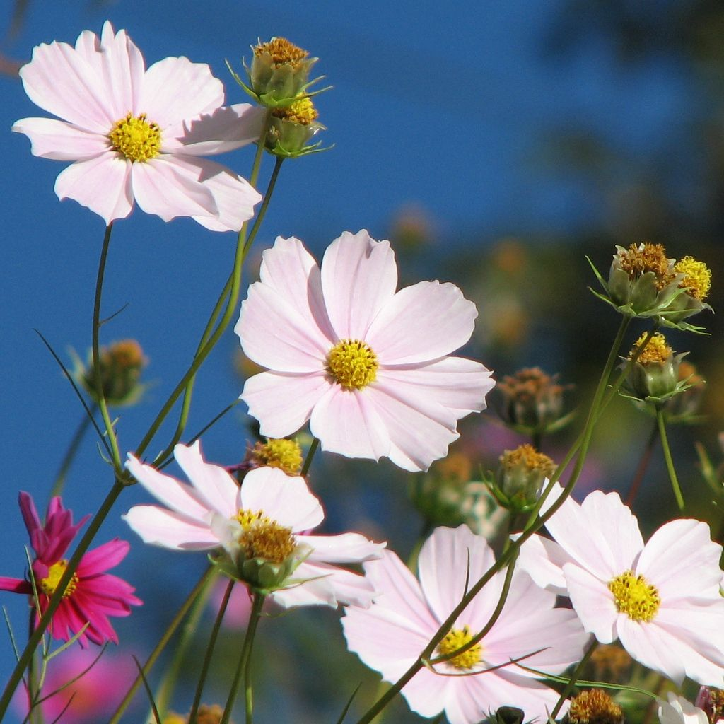 white cosmos | Nature's Beauty | Pinterest | Cosmos, Cosmos ...