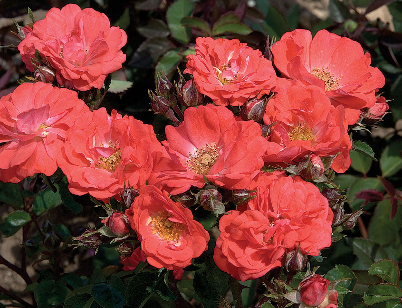 Coral drift ground cover rose gardening with flowers - Rosas color coral ...